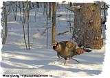 20130320 181 Wild Turkey.jpg