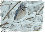 20130227 144 Blue Jay.jpg