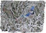 20121213-1 007 Blue Jay.jpg