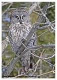 20130122 034 Great Gray Owl.jpg