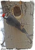 20130410 118 SERIES - Pileated Woodpecker.jpg