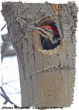 20130411 002 SERIES -  Pileated Woodpecker xxx.jpg