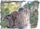 20130416 083 SERIES - Great Horned Owls.jpg