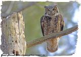 20130417 394 SERIES - Great Horned Owls.jpg