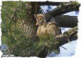20130417 173 SERIES -  Great Horned Owl (m).jpg