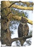 20130417 313 SERIES - Great Horned Owl.jpg