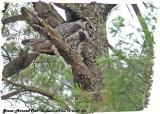 20130419 094 Great Horned Owl (f).jpg
