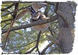 20130422 361 Great Horned Owl (f).jpg