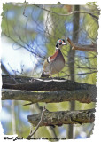 20130417 022 Wood duck.jpg