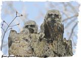 20130423-1 313 SERIES - Great Horned Owlets2.jpg