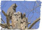 20130423-1 809 SERIES-  Great Horned Owls.jpg