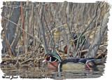 20130415 136 Wood Duck.jpg
