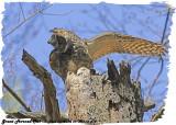 20130423-2 518 SERIES - Great Horned Owls.jpg