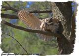 20130425 071 SERIES - Great Horned Owl.jpg