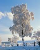 Hoary Birch