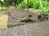 Gladiator Tree Frog (Hypsiboas boans)