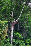 Azteca ant nest