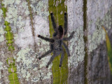 Large tarantula on a flooded ceiba tree