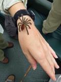 Little pink-toed(?) tarantula