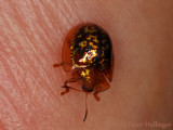 Tiny gold beetle