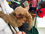 Pancho with orphan two-toed sloth