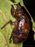 Donna's large beetle exuviae