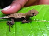 Western Leaf Lizard (Stenocercus fimbriatus)