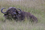 Cape buffalo with Oxpeckers