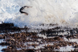A Dunlin escaping the waves
