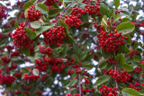 very red berries