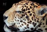 jaguar5345_Jaguar