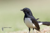 fantails_and_drongo
