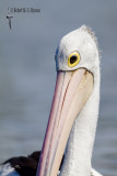 australian_pelican
