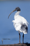 ibis_and_spoonbills
