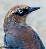 Rusty Blackbird  -  (Euphagus carolinus)  - Quiscale rouilleux