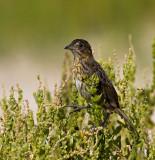 Seaside Sparrow Pascagoula