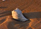 Lone seashell at sunrise.