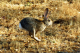 Cottontail Rabbit.jpg
