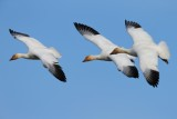 Snow Geese February 2013