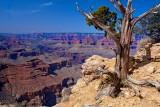 Tenacious Pine