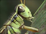 Grasshopper Eating