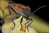 Milkweed Bug with ?