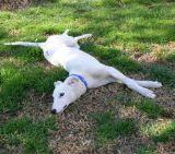 Zaya in typical greyhound pose
