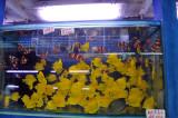 Mongkok goldfish market