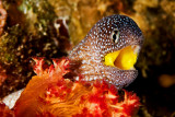 Yellow Mouth Moray Eel