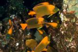 Clarion Anglefish