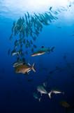 Jacks and white tip reef shark