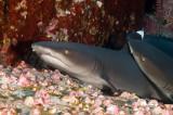 White tip reef sharks