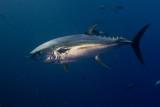 Yellow fin Tuna