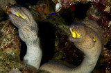 Yellow Mouth Moray Eels